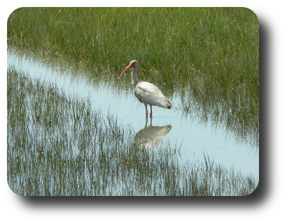 A White Ibis at the Rachel Carson Reserve (Carrot Island, Beaufort,NC) on 18 July at 11:42.
