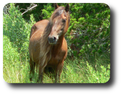 A wild horse at the Rachel Carson Reserve (Carrot Island, Beaufort,NC) on 18 July at 11:58.
