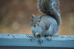 Squirrel in backyard on 6 February at 07:11:13 ISO 6400 f/6.3 1/200s