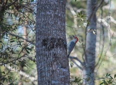 Woodpecker on 6 February at 10:02.22 ISO 100 f/6.3 1/200s