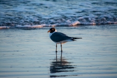 Seagull at Atlantic Beach on 5 April ISO 3200 f/5.6. 1/640