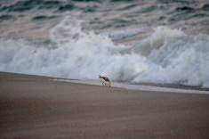 Bird in the sand 1/60 f/5.6 ISO 1600 300mm