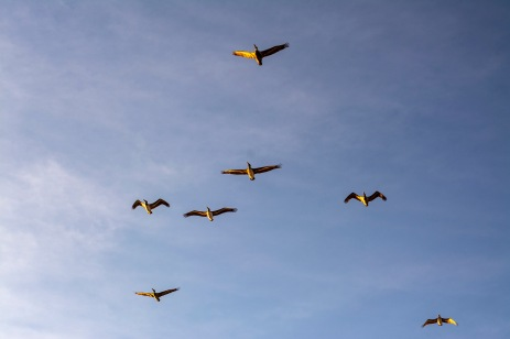 Pelicans doing a fly by at 17:30:38