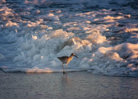 Sandpiper in the surf