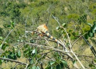 iguanas sunbathing in the tree