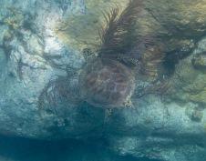 Snorkeling - Sea Turtle